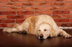 Beau chien d'arrêt d'or Photos stock