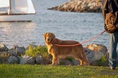 Beau chien d'arrêt d'or Image stock