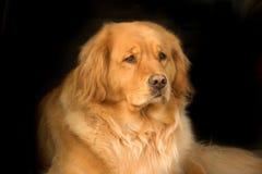 Beau chien d'arrêt d'or photographie stock libre de droits