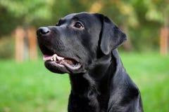 Beau chien d'arrêt de Labrador noir Photographie stock libre de droits