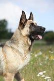 Beau chien de berger allemand se reposant dans le domaine fleurissant Photos libres de droits