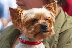 Beau chien de Brown dans les mains de l'hôtesse photos libres de droits