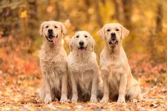 Beau chien de golden retriever dans la nature photo libre de droits