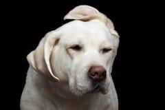 Beau chien de labrador retriever devant le fond noir d'isolement Photographie stock