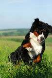 Beau chien de montagne de Bernese heureux Images stock
