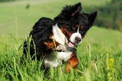 Beau chien de montagne de Bernese heureux Image stock