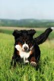Beau chien de montagne de Bernese heureux Photo libre de droits