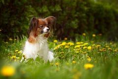 Beau chien de race Papillon image stock