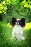 Beau chien de race Papillon photos stock