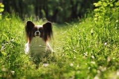 Beau chien de race Papillon photo stock