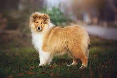 Beau chien de Sheltie sur la nature Photo libre de droits