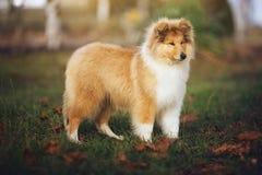 Beau chien de Sheltie sur la nature Photos stock