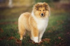 Beau chien de Sheltie sur la nature Images libres de droits