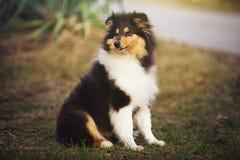 Beau chien de Sheltie sur la nature Photo stock
