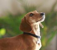 Beau chien de teckel Images stock