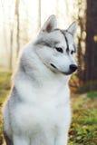Beau chien de traîneau de chien Photographie stock