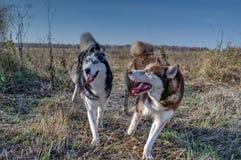 Beau chien de traîneau sibérien jouant dessus Image stock