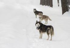 Beau chien enroué animal dans le heterochromia neigeux d'hiver en parc avec l'hôtesse Image stock
