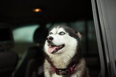 Beau chien enroué dans la voiture photo libre de droits