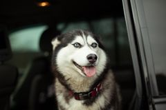 Beau chien enroué dans la voiture images libres de droits