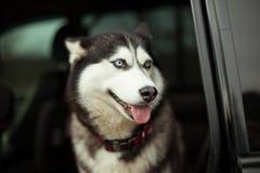 Beau chien enroué dans la voiture image stock