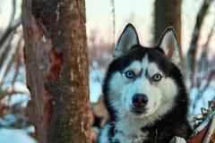 Beau chien enroué de portrait Chien de traîneau sibérien de couleur noire et blanche aux yeux bleus dans des regards de forêt de  Photo stock