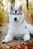 Beau chien enroué dehors Photographie stock