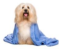 Beau chien havanese rougeâtre baigné enveloppé dans une serviette bleue photo stock