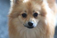 Beau chien pomeranian blond Photographie stock libre de droits