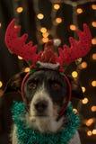 Beau chien posant pour Noël avec les klaxons de raindeer et la lumière de couleurs images libres de droits