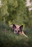 Beau chien sur l'herbe verte Photo stock