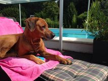 beau chien sur la piscine Photos stock