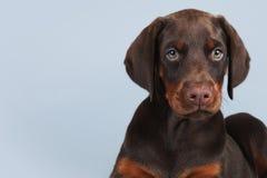 Beau chiot brun de dobermann se reposant sur le fond bleu dans Images stock