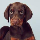 Beau chiot brun de dobermann se reposant sur le fond bleu dans Photo stock