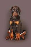Beau chiot brun de dobermann se reposant sur le fond brun en Th Photo libre de droits