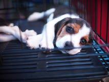 Beau chiot de chien de jeune petite petite race pure mignonne avec les yeux innocents seuls Images stock