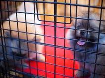Beau chiot de chien de jeune petite petite race pure mignonne avec les yeux innocents seuls Photos stock