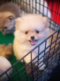 Beau chiot de chien de jeune petite petite race pure mignonne avec les yeux innocents seuls Image libre de droits
