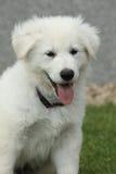 Beau chiot du berger suisse blanc Dog Images libres de droits