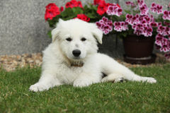 Beau chiot du berger suisse blanc Dog Image stock