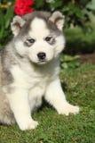 Beau chiot du chien de traîneau sibérien dans le jardin Images stock