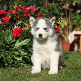 Beau chiot du chien de traîneau sibérien dans le jardin Photographie stock libre de droits