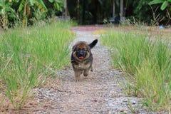 Beau chiot heureux de berger allemand fonctionnant en nature d'herbe verte sur la cour Photo stock