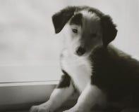 Beau chiot noir et blanc heureux de border collie luying sur son propriétaire Images stock