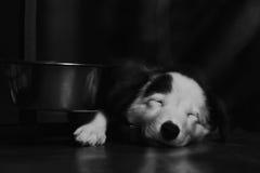 Beau chiot noir et blanc heureux de border collie luying sur son propriétaire Images libres de droits
