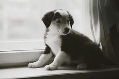 Beau chiot noir et blanc heureux de border collie luying sur son propriétaire Photographie stock