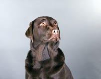 Beau chocolat Labrador Photographie stock libre de droits