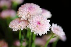 Beau chrysanthème de floraison rose Photo stock