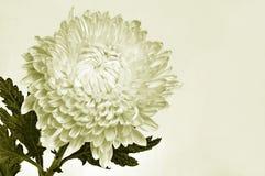 Beau chrysanthemum Photos stock