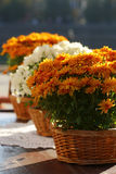 Beau chrysanthemum orange Images libres de droits
